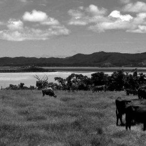Beef cattle on grass on isle of Kohama