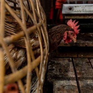 籠から頭を出した鶏