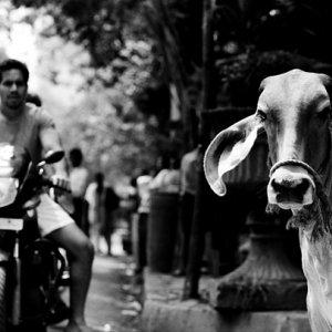 道端に佇む牛