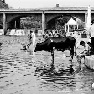 沐浴する牛