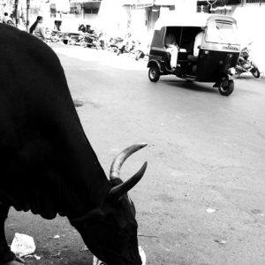 餌を食む牛