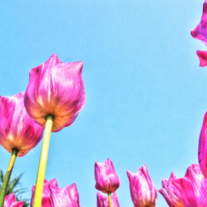 Tulips in Yoyogi Park