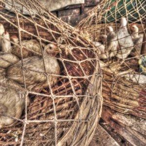 網の中の鶏