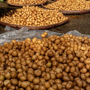 Potatoes being dried in sun