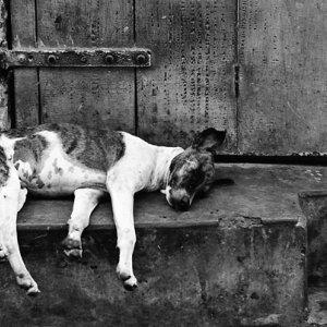 死んだように寝る犬