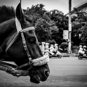 Side face of a horse waiting for customers near Fatahillah Square