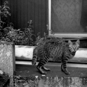 鋭い視線の猫
