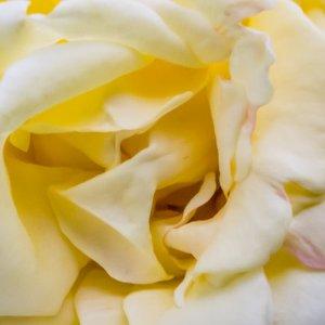 黄色い薔薇の花弁