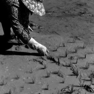 屈みながら稲を植える女性