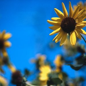 Sunflower blooming in Ogawamachi