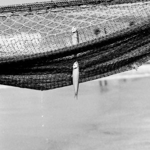 不幸にも網にかかった魚