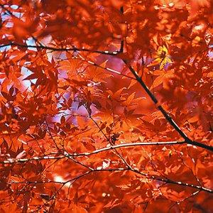 井の頭公園の鮮やかな紅葉の葉