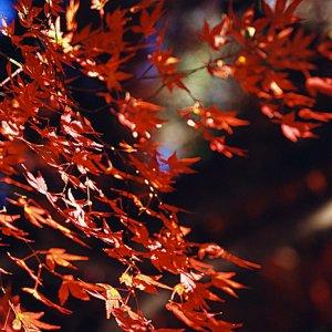Red maple leaves in Inokashira Park