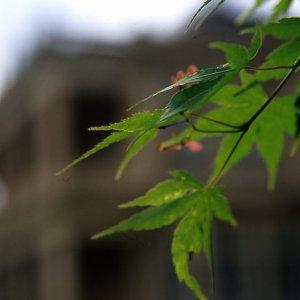 旧岩崎邸庭園の葉