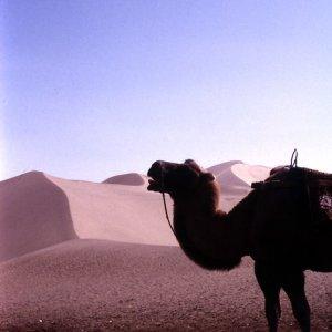 鳴沙山の駱駝
