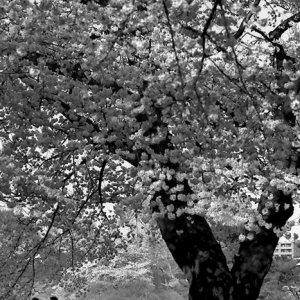 桜の花の下のベンチ