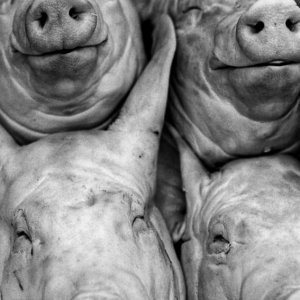 Faces of pig sold in the market in Gyeongju