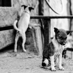 ティングラエンの二匹の犬