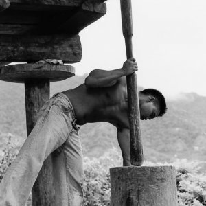 Man threshing rice with wooden pole
