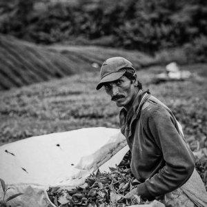 茶葉を集める男