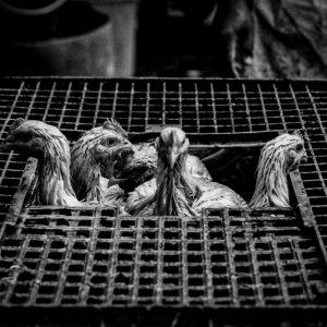 屠畜場の籠の中にいた鶏