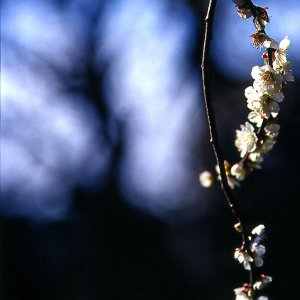 Blossoms of Japanese apricot