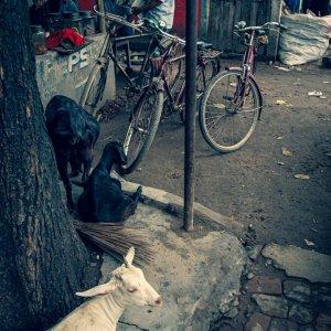 道端の山羊