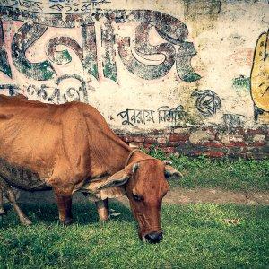 草を食む牛