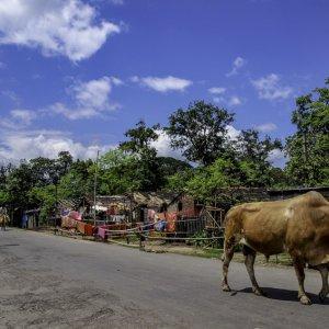 散歩する牛