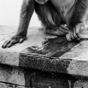 コーラを垂らす猿