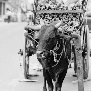キャンディの町で見かけた牛車