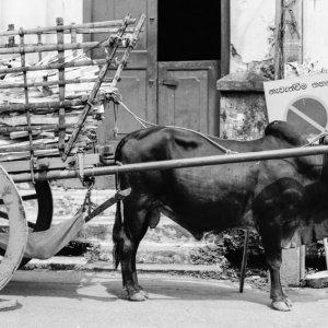 駐車違反している牛車
