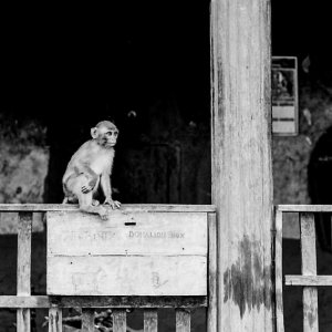 Monkey on donation box