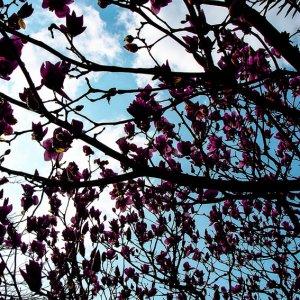 magnolia in Glover garden