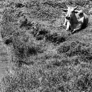 畑の中で寛ぐ牛