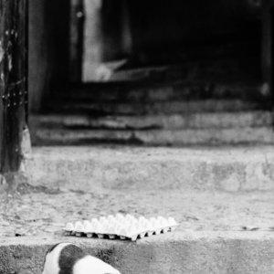 柘榴を齧る子犬