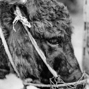 くつわをはめた驢馬
