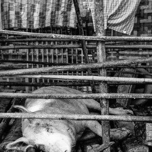 昼寝する豚