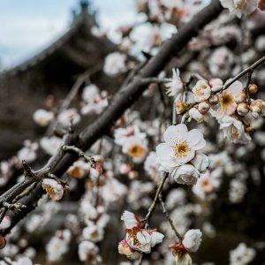 祥雲寺に咲く梅の花