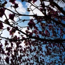 Magnolia In Glover Garden @ Nagasaki
