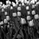 Tulip In Glover Garden