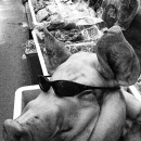 Pig Wearing Sunglasses