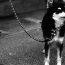 Leashed Dog Was Waiting @ Okinawa