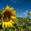 宮古島の向日葵