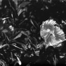 Hibiscus @ Okinawa