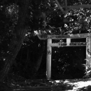 Torii In The Tree Shade