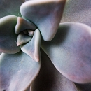 Closeup Of Echeveria