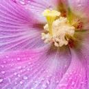ピンクの花弁に水滴