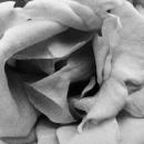 Soft Petals Of Rose @ Tokyo