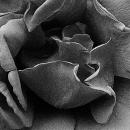 Closeup Of A Rose @ Tokyo
